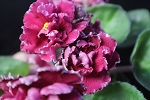 African Violet Russian Magenta pair of leaves