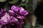 African Violet Optical Illusion pair of leaves