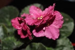 African Violet Burnt Autumn pair of leaves