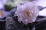 African Violet Russian White Queen Sport 1 leaf