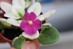 African Violet Jolly Mel Leaf Pot