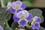 African Violet Sun Edelweiss pair of leaves