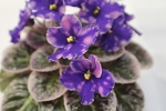 African Violet Rob's Outer Orbit Semiminiature 2 leaves