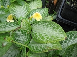 Episcia Jim Hall Yellow in 6inch hanging basket