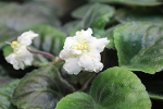 African Violet Jolly Gold  semiminiature leaf pot