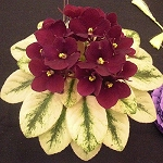 African Violet Jolly Jubilee, miniature  pair of leaves