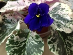 African Violet Lady Baltimore Variegated  Standard 2 leaves Vintage