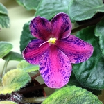 African Violet Little Cherokee Chief Semiminiature 2 leaves