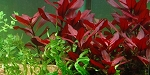 Ludwigia Dark Red New Bunch