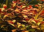 Ludwigia repens , Broad Leaf Red Ludwigia bunch