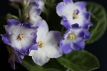 African Violet Ness Blueberry Kiss Leaf pot