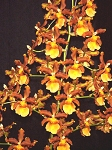Odontocidium Catatante 'Kilauea Karma' AM/AOSease enter name here