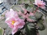 African Violet Pink Feathers variegated Leaf Pot