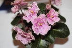 African Violet Rob's Antique Rose semiminiature Leaf Pot