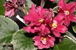 African Violet LE Vishnia Sakhare  Cherry in Sugar 2 leaves Russian