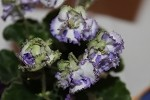 African Violet California Victory  semiminiature pair of leaves