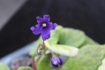 African Violet Original 10 Blue Boy 2 leaves