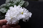 African Violet EK White Queen Belaia Koroleva Russian 2leaves