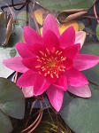 Water Lily Xue Fei miniature  small