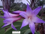 Worsleya procera Rare Blue Amaryllis of Brazil  3 yrs from  Blooming size plant