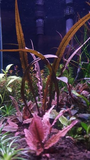 "Aquatic  Cryptocoryne spirilis ""Tiger"""