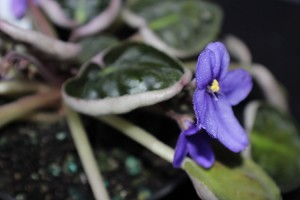 "African Violets Buckley's Spoon 2"" pot semiminiature near blooming size"