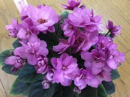 African Violet Jolly Butterfly semiminiature Leaf Pot