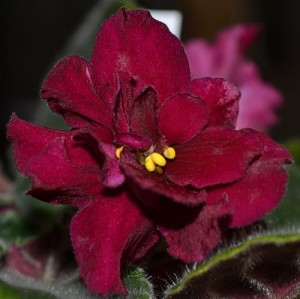 African Violet Omaha Thunder 2 leaves