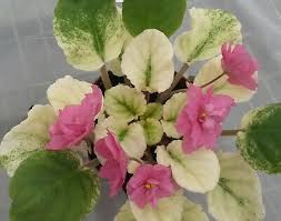 African Violet Sunny Salmon 2 leaves