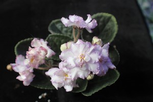 African Violet Spun Sugar pair of leaves