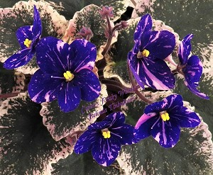African Violet Cajun's Frisky Whiskey pair of leaves