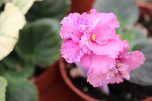 African Violet Winnergreen vintage, semiminiature 2 leaves