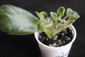 African Violet Mermaid vintage original 10 leaf pot