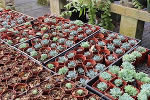 "Echeverias asst 2"" pots   Great for Vertical Gardens"