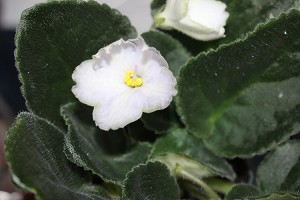 African Violet Karyn's Choice 2 leaves