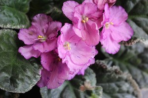 African Violet Sergeant Pepper 2 leaves