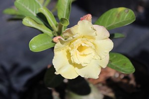 "Desert Rose  Adenium ""Peace"" Triple Yellow flowered  grafted plant"