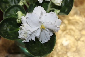African Violet Rhapsody in White 2 leaves