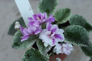 African Violet Golden Dawn semi miniature violet Leaf Pot