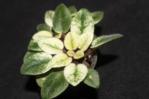 African Violet Jolly Cupid set of LEAF CUP variegated miniature