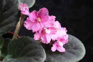African Violet Suncoast Coral Razz 2 leaves