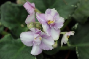 African Violet Cajun's Two to Tango 2 leaves