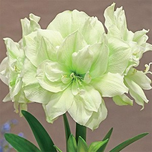 Amaryllis Marilyn Huge bulbs