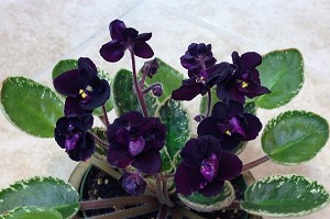 African Violet Mac's Dark Night of the Soul 2 leaves