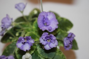 African Violet Rob's Kitten Caboodle semiminiature 2 leaves