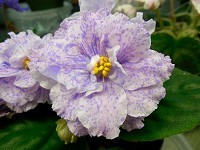 "African Violet Russian Popourri 4"" blooming size plant"