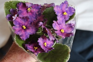 African Violet Russian LE Southern Night  Luzhnaia Leaf Pot