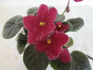 African Violet Heartbreak Kid 2 leaves semiminiature