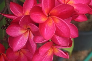 Plumeria, Frangi Pani assorted colors rooted