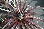 Dykia Red Planet